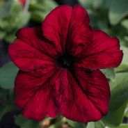 Petunia Express Burgundy - 50 Pelleted seeds